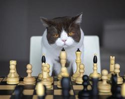Grave gato británico de pelo corto jugando al ajedrez en el tablero de ajedrez foto