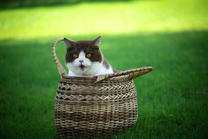 Cute british shorthair cat sitting in basket on green grass photo