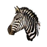 Zebra head portrait from a splash of watercolor, colored drawing, realistic. Vector illustration of paints