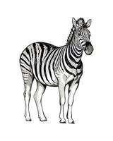 cebra de un toque de acuarela, dibujo coloreado, realista. ilustración vectorial de pinturas vector