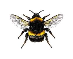 Bumblebee from a splash of watercolor, colored drawing, realistic. Vector illustration of paints