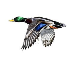 Duck from a splash of watercolor, colored drawing, realistic. Vector illustration of paints