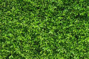 Natural green leafy wall background with dark green photo