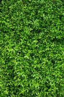 Natural green leafy wall background vertical photo