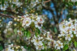 Almond blossom with bee photo