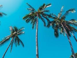 hermosas palmeras de coco tropical