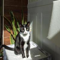 Tuxedo cat in the sun photo