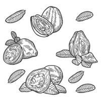 Guava fruit composition. Hand drawn vector illustration.