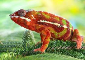 Close-up of a chameleon photo