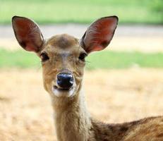 Deer in a grassland photo