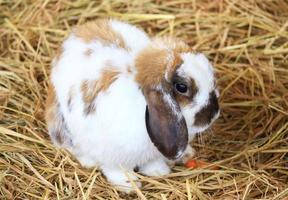 Rabbit in straw photo