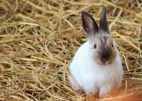 Brown and white rabbit in straw photo