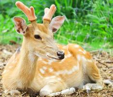 Deer laying on the ground photo