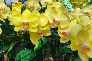 Flores de orquídeas amarillas en un jardín. foto