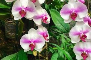 orquídeas blancas y rosadas foto