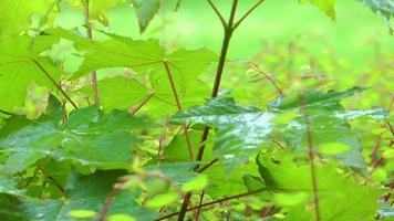 chovendo nas folhas verdes da planta video