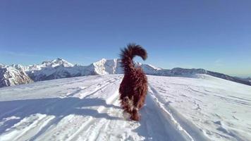 cão pastor bergamasco caminhando na neve video