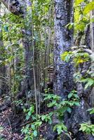 Laurel forest in Gran Canaria photo