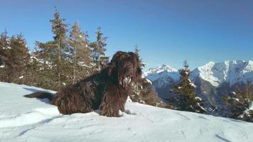 cão pastor bergamasco na neve fresca olhando ao redor video