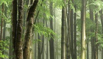 Broadleaved tree in a foreground of forest with decent light and fog