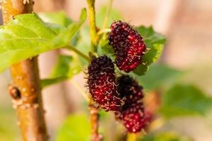 Fresh mulberry, black ripe and red unripe mulberries hanging on a branch photo