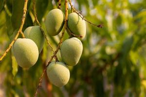 Raw wild green mangoes hanging on a branch photo