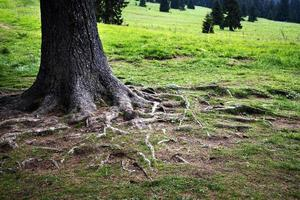 Tree roots in green grass photo