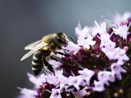 Thirsty bee on oregano blossom photo