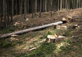 Fallen spruce tree