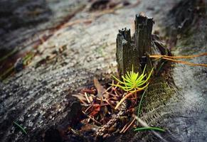 Small spruce growing on an old tree stump photo