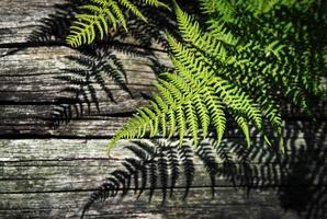 Shade of green ferns on wood photo