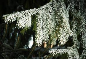 Spruce branch with frost