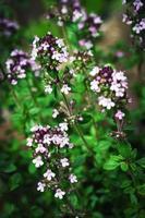 Purple thyme flowers photo