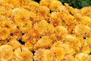 Group of yellow chrysanthemums photo