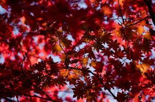 Red maple leaves on a tree in a forest photo