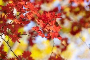 Red maple leaves on a tree in a forest
