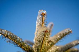 Icicles on a spruce tree branch