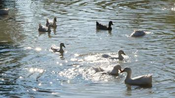 A Flock of White Ducks Swim the Pond with Sunlight Reflections on The Water