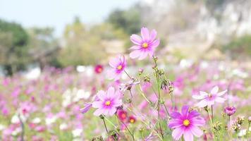 campo de flores rosa do cosmos balançando ao vento