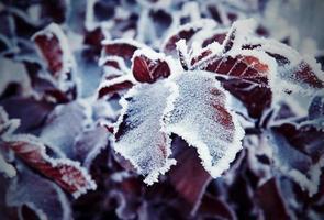 hojas rojas congeladas foto