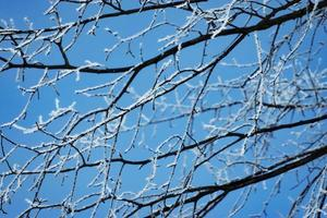 Frost on tree branches