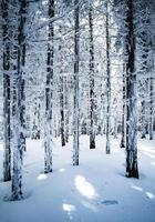 Dense snowy spruce forest