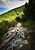 ruta de senderismo a través de un bosque de pinos foto