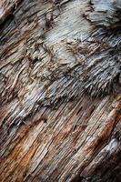 Detalle del tronco de un árbol desgarrado foto