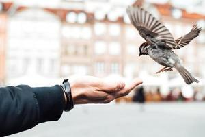 Sparrow eats from hand photo