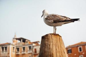 A seagull bird sits on a log against the backdrop of Venetian houses