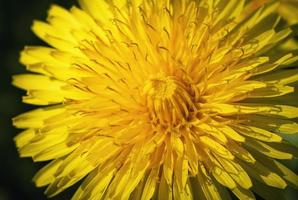 Detail of a dandelion photo