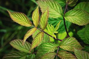 Detail of raspberry leaves photo