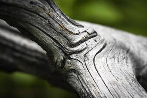 Dry gray old branch photo