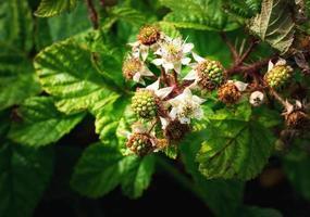 Flowers and unripe blackberries photo